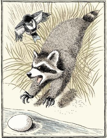 Racoon  Raccoon And Blue Jay